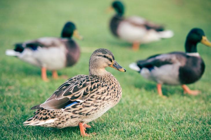 joke ducks