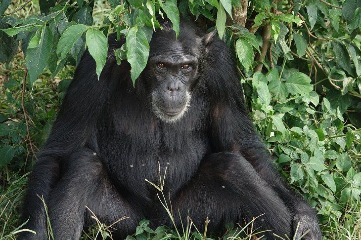 Monkeys, War, Chimpanzee, Orangutan, Strategic, Strange Animal Behavor
