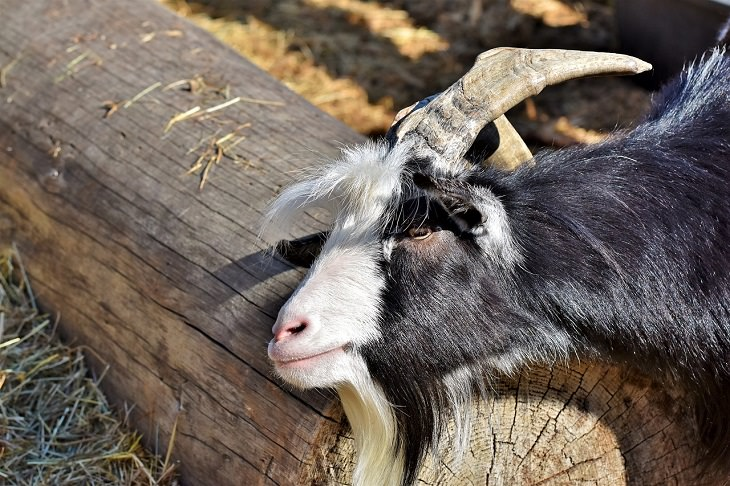 Myotonic Goat, Fainting, Wooden Leg, Tennessee, Pet, Panic, Strange Animal Behavior