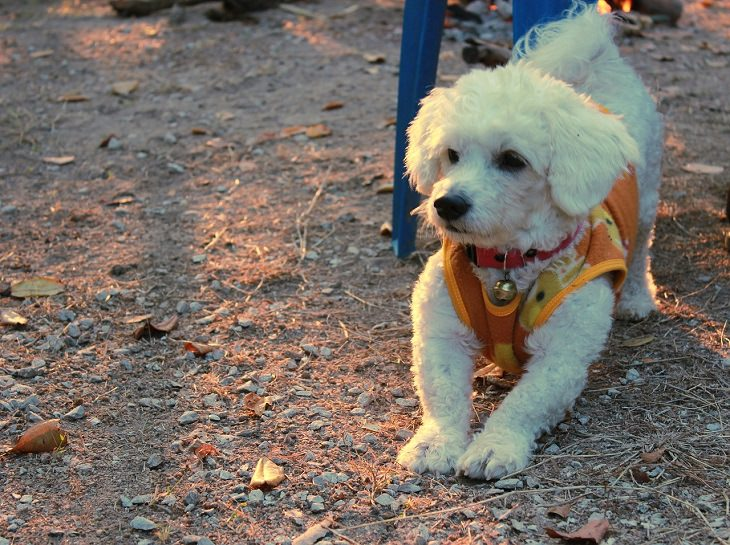 Bichon Frise, Small, Dog, Intelligent, Loving, Loyal, Affectionate, Pet, Furry, Friend, Breed, For Seniors, Older Adults