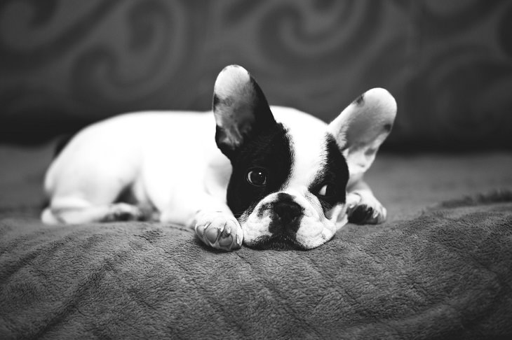 French Bulldog, Small, Dog, Intelligent, Loving, Loyal, Affectionate, Pet, Furry, Friend, Breed, For Seniors, Older Adults