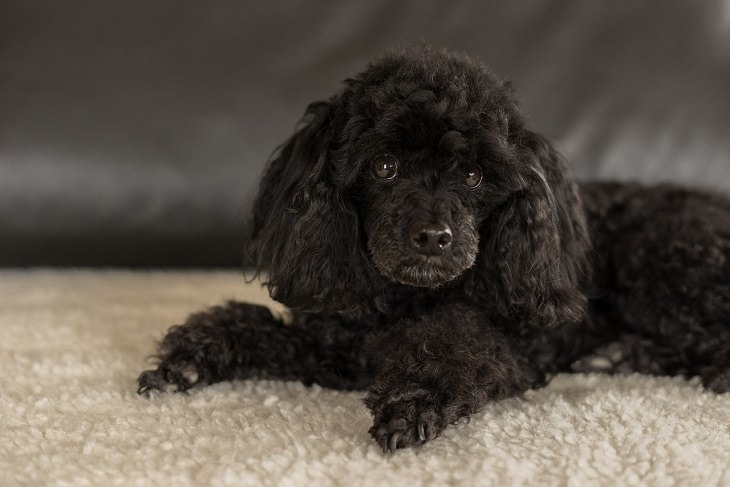 Poodle, Small, Dog, Intelligent, Loving, Loyal, Affectionate, Pet, Furry, Friend, Breed, For Seniors, Older Adults