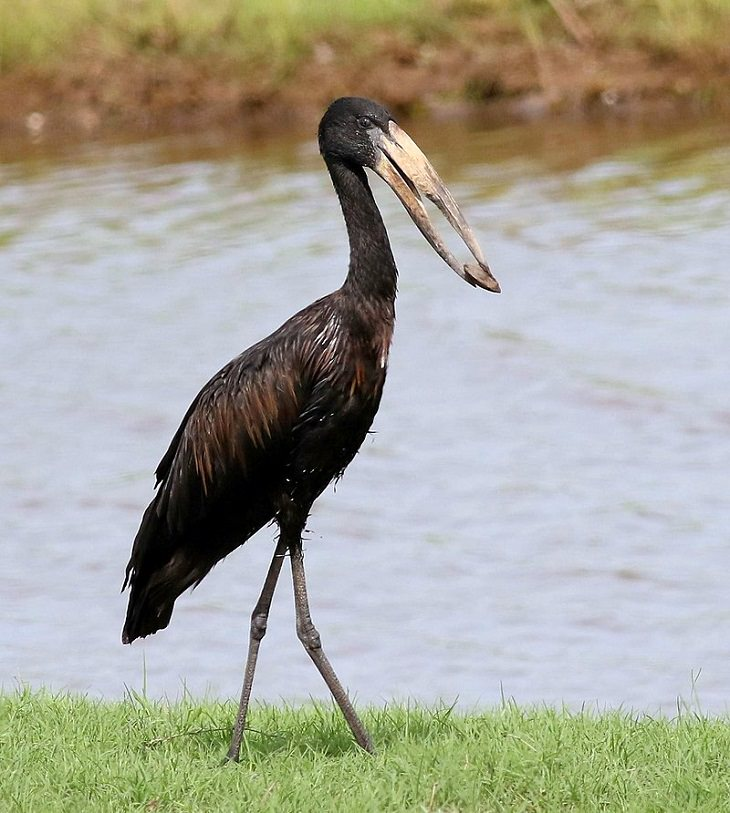 African Openbill, nature, animals, travel, birds, family, species, storks, genera,