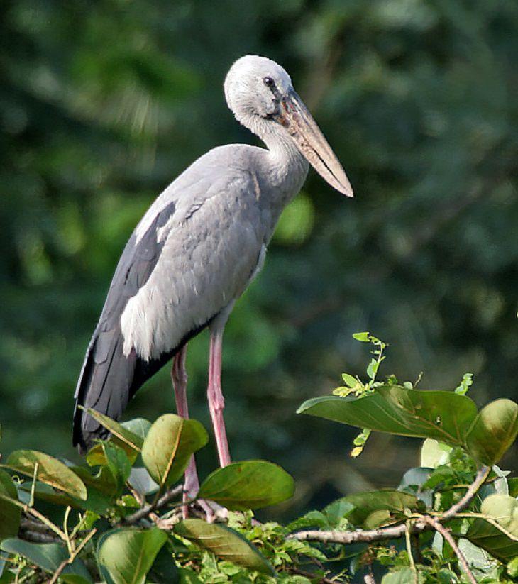 Asian Openbill, nature, animals, travel, birds, family, species, storks, genera,