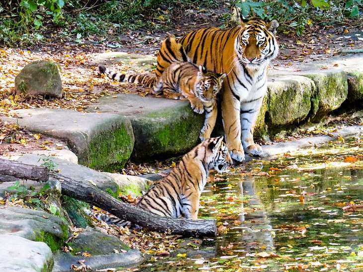 tigers, conservation, nature, world tiger day, global, international, preservation, wildlife