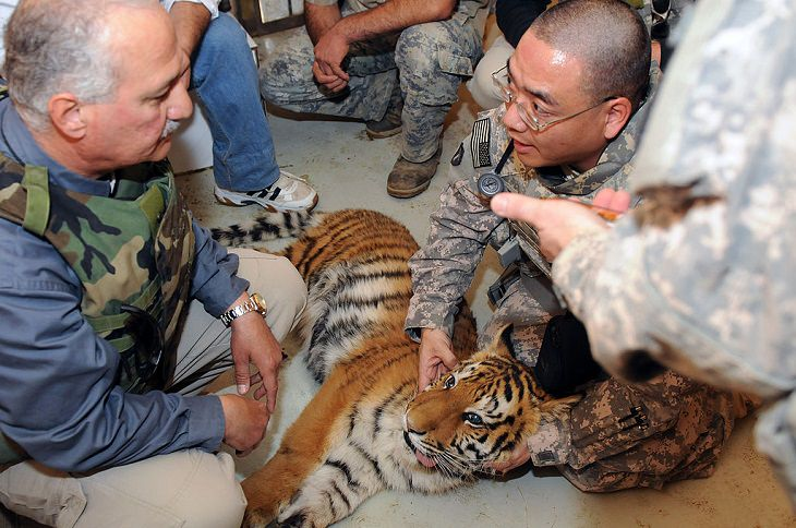 tigers, conservation, nature, world tiger day, global, international, preservation, wildlife