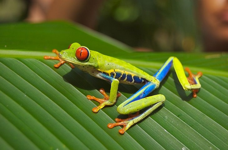 Brightly colored, Strange and odd-looking fascinating species of frogs and toads, Red-Eyed Tree Frog (Agalychnis callidryas)