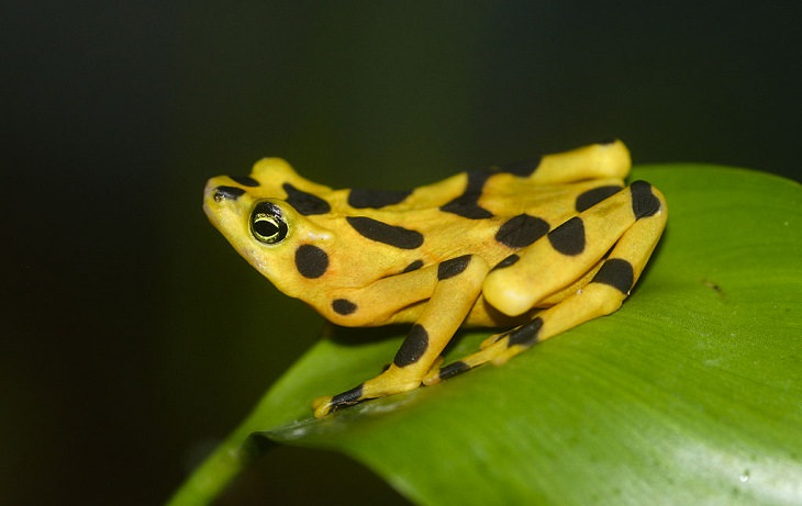 Brightly colored, Strange and odd-looking fascinating species of frogs and toads, Panamanian golden frog (Atelopus zeteki)