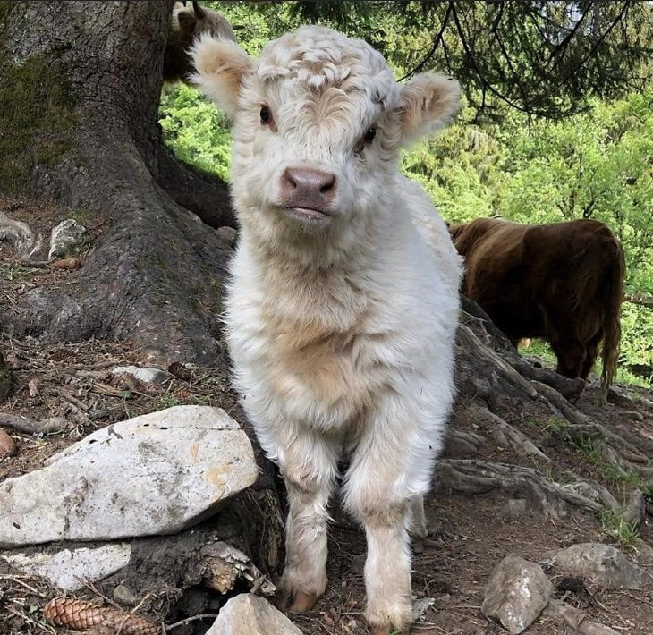 Photographs of cows being cute and funny like dogs, Fluffy white highland cow calf standing
