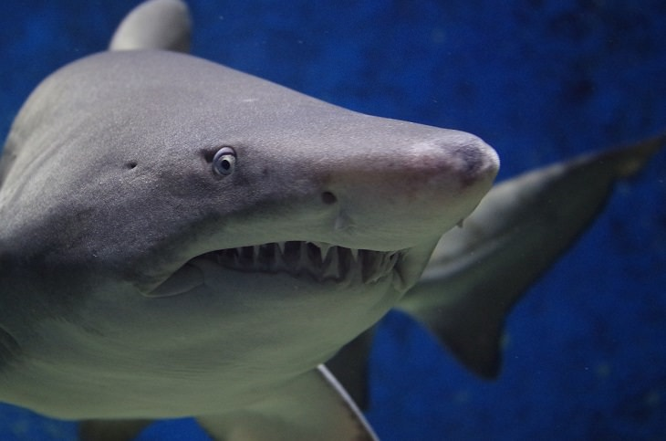 Fascinating facts about sharks, Close-up of shark and its serrated teeth