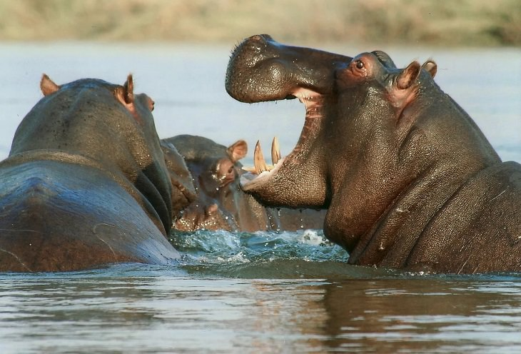 Oldest living animals and species that have lived on this planet longer than man, Hippopotamus - 16 million years