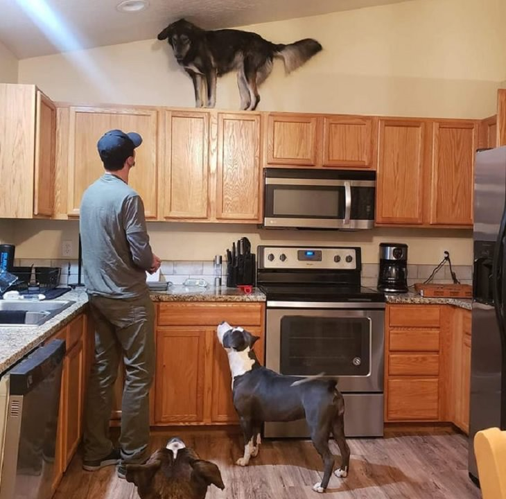 Funny pictures of dogs being strange, these dogs may be broken, black and white dog standing on top of kitchen cabinets