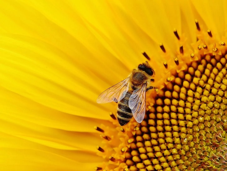 Meanings and symbolism of various colors in different countries and cultures, Bee on a yellow sunflower, yellow