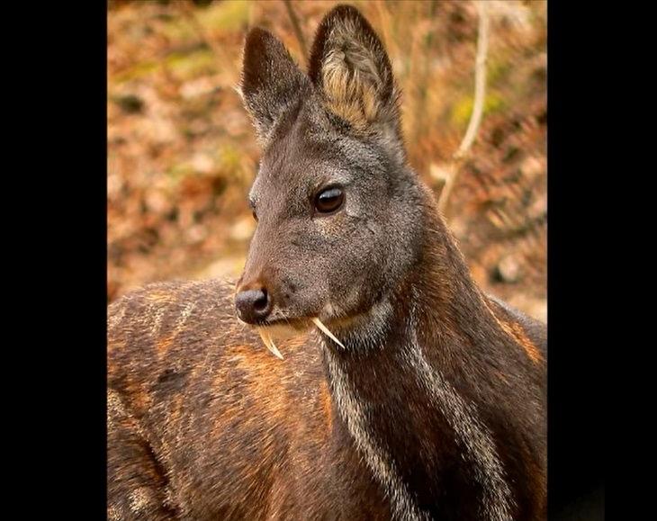 Species of animals we thought were extinct but are not, Kasmir Musk Deer