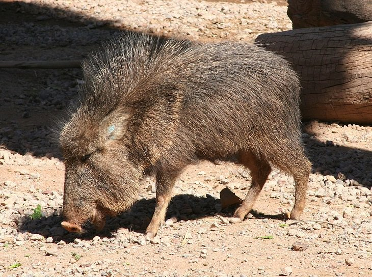 Species of animals we thought were extinct but are not, Chacoan peccary
