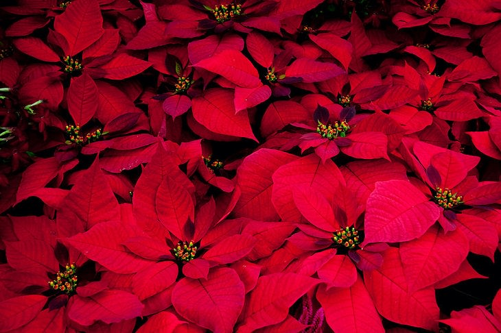 10 winter flowers that are cold-resistant and hardy, Poinsettia (Euphorbia pulcherrima)