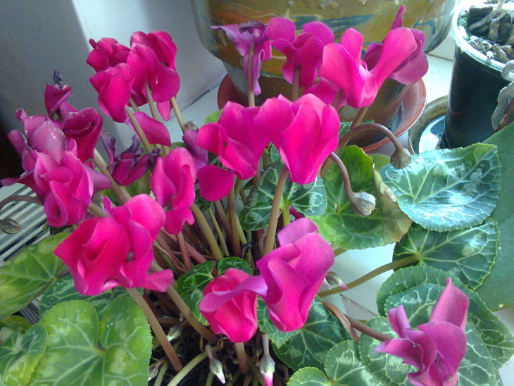 10 winter flowers that are cold-resistant and hardy, Persian cyclamen (Cyclamen persicum)