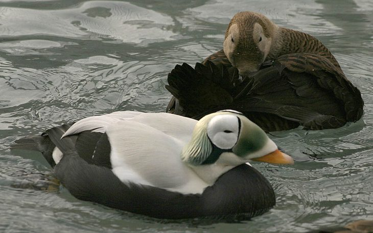 Facts about the weird behavior of strange-looking animals, Spectacled Eiders