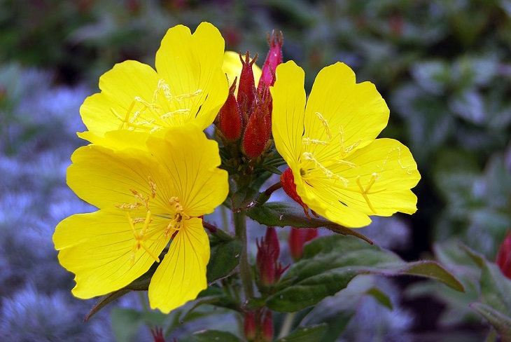 Beautiful and colorful flowers for all seasons that grow and bloom in shade and are shade-tolerant, primrose