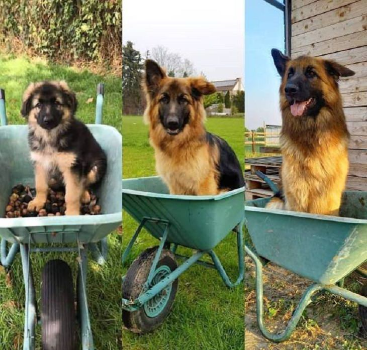 Beautiful pictures of touching, cute, and warm moments, Three panels showing a german shepherd puppy at different ages