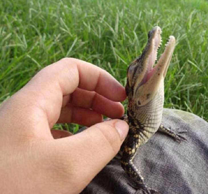 Adorable photographs of cute baby animals, Baby crocodile being petted
