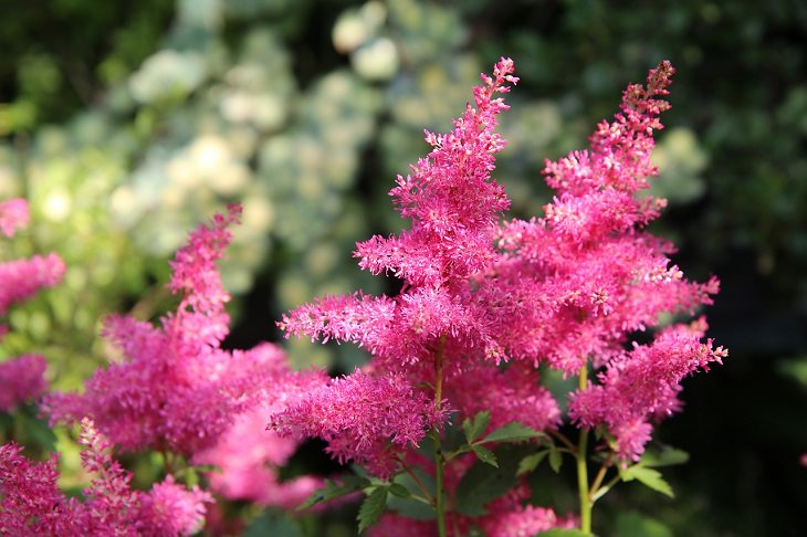 Low-maintenance perennial plants with colorful flowers, Astilbe