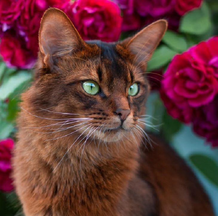 Photographs of supermodel cats in front of the camera, Red cat with green eyes