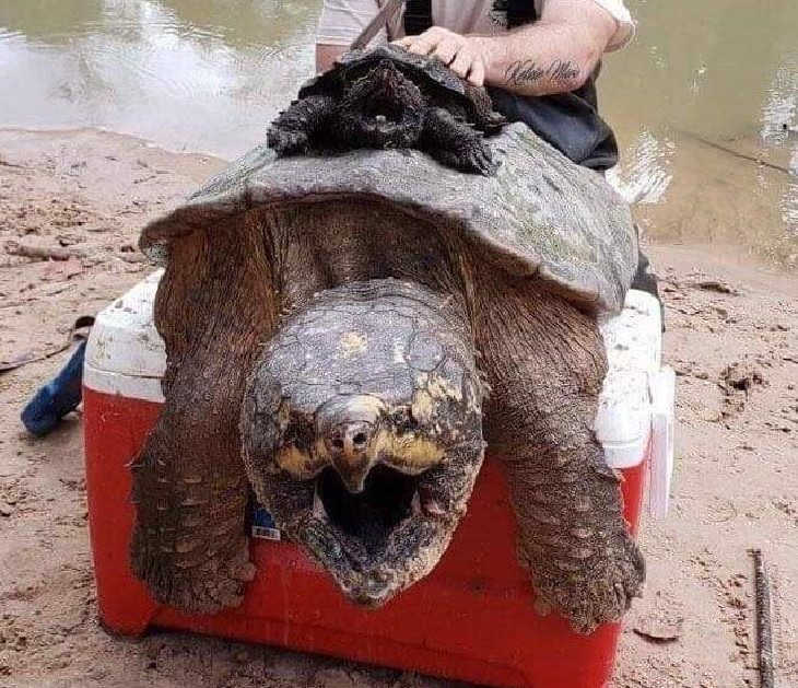 Photographs showing the size of large animals with comparisons, a big and small snapping turtle