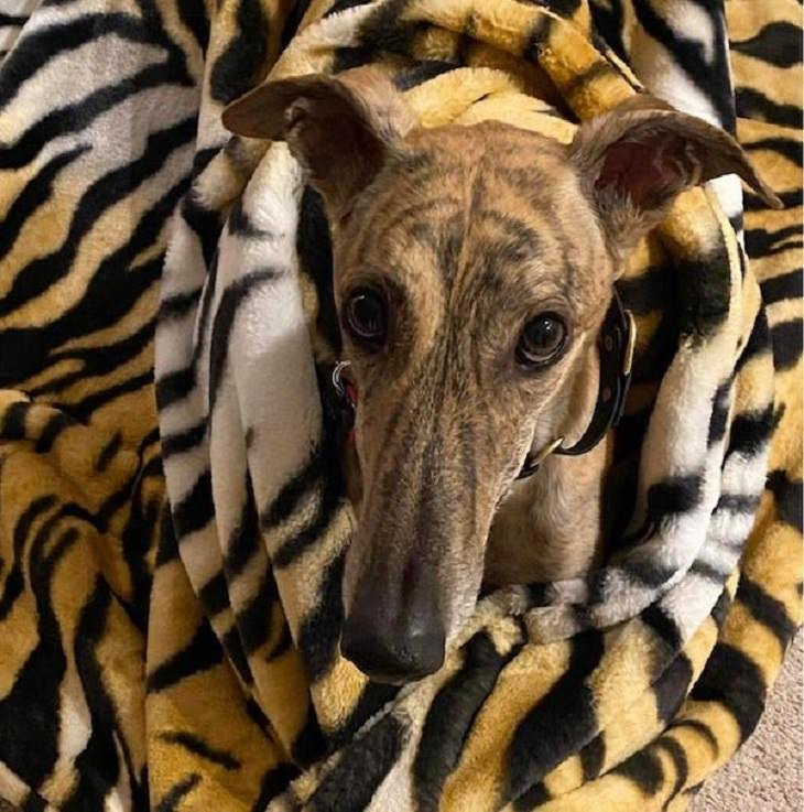 Funny pictures of household items, animals, and people that camouflaged, Striped dog wrapped in tiger print blanket