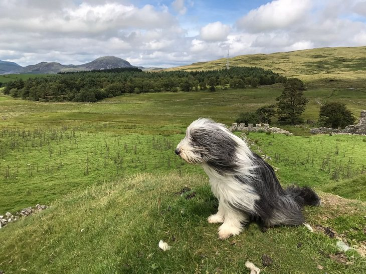 Beautiful species of sheepdogs (sheep dogs) that also make good companions and pets, The Bearded Collie, or Beardie