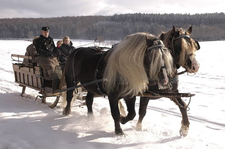 Different beautiful breeds of horses from all around the world, Black Forest Horse, an endangered light draft horse from Germany