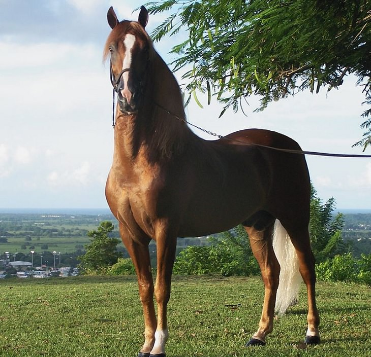 Different beautiful breeds of horses from all around the world, Paso Fino, a naturally gaited light horse imported from Spain