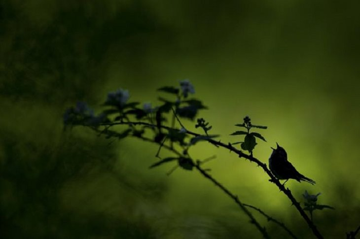 Winners of the Nature Conservancy World wide Photo Competition / Contest, Wildlife, Second Place: Raymond Hennessey, United States SINGING SILHOUETTE: The silhouette of a Chestnut-sided Warbler singing it's heart