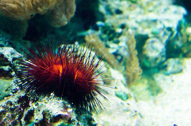 Longest-Living Animals Red sea urchins