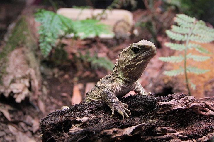 Longest-Living Animals Tuatara