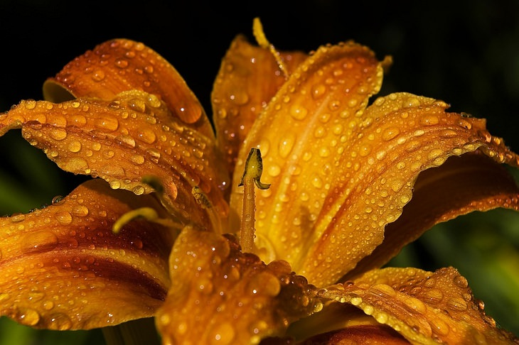 Perennial Vegetables Daylilies