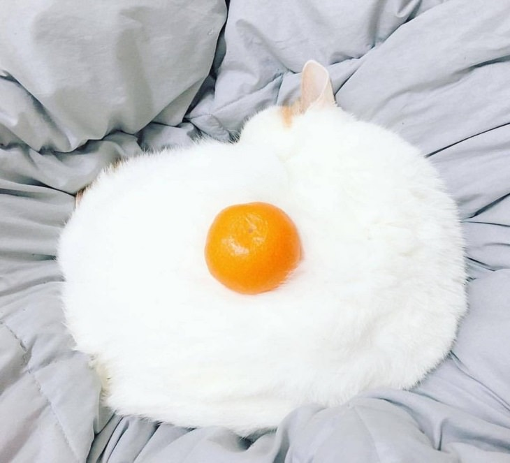 Pictures and photographs of cats that look like or resemble different types of food, Cat looks like sunny side up egg
