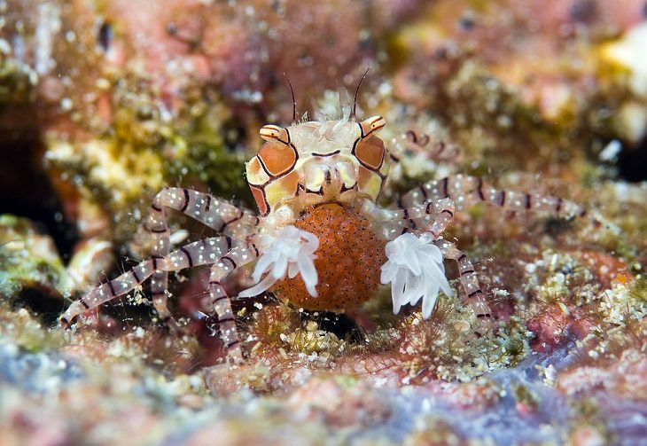 Wild animals frequently kept as exotic pets, Pom Pom Anemone Crab