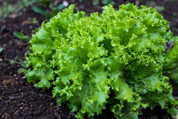 Spring Vegetables Lettuce