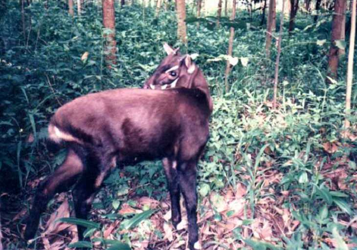 The rarest animals, in the world, with populations of individuals in the wild and in captivity under 2000, endangered and critically endangered, on the brink of extinction, Saola, antelope, vu quang