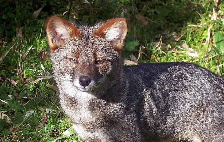 The rarest animals, in the world, with populations of individuals in the wild and in captivity under 2000, endangered and critically endangered, on the brink of extinction, Darwin's Fox