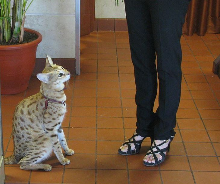 Interesting and fascinating animal cross breeds and hybrid offspring, Savannah Cat, a cross between a domestic cat and a serval, also the largest breed of pet cat