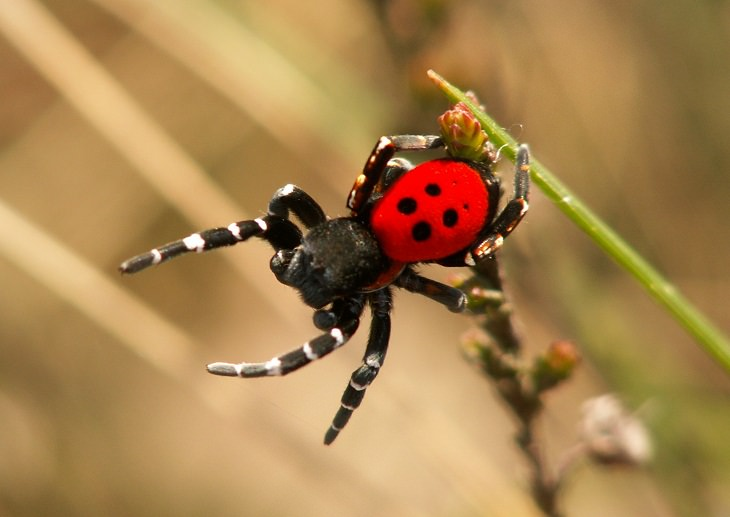 Ladybird Spiders Biological Mimicry