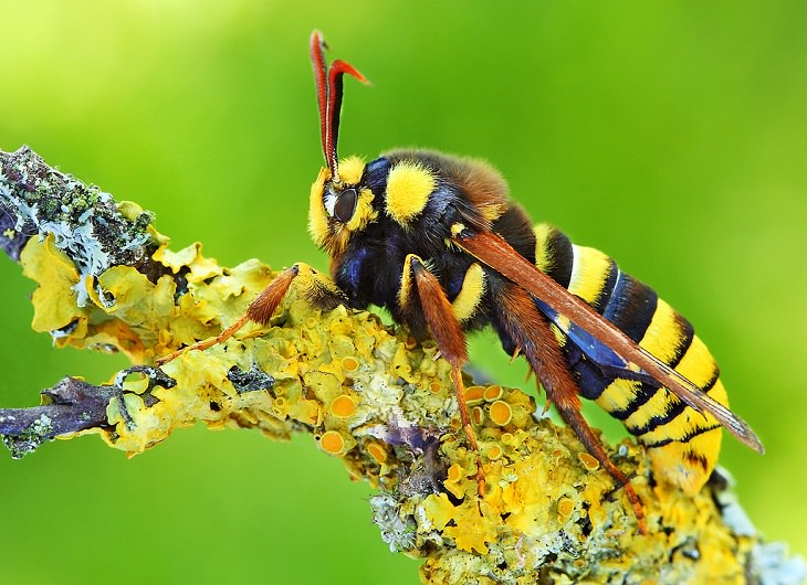 Hornet Moths Biological Mimicry