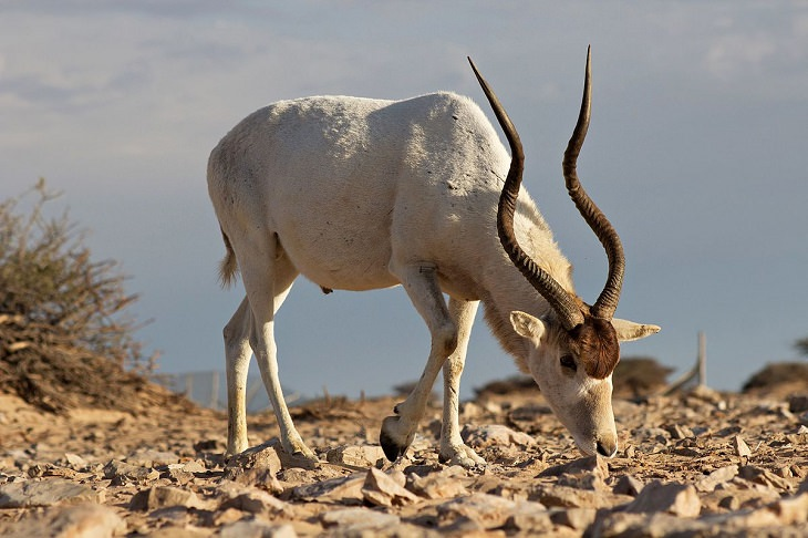 Incredible animals in the Sahara desert with unique adaptive features for suriviving in harsh habitats, Addax Antelope