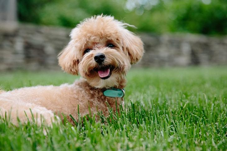Poodles Allergy-Friendly Pets