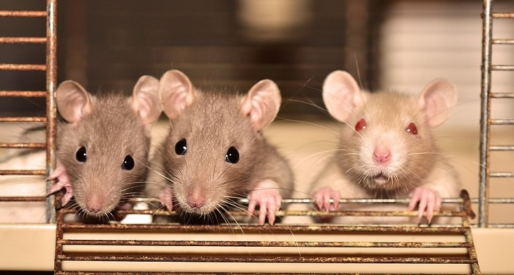 rats in a cage