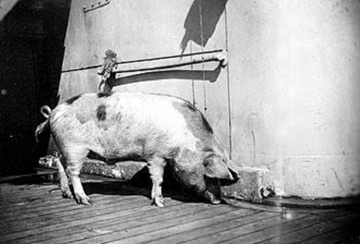Tirpitz the Pig, world war