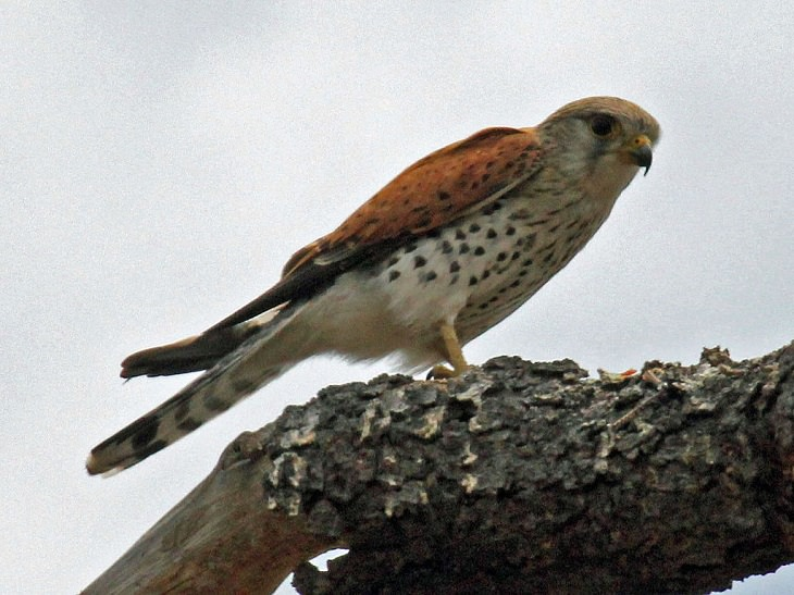 Fascinating facts on Different species of falcons in the birds of prey group that are found all over the world, The Malagasy kestrel (Falco newtoni)