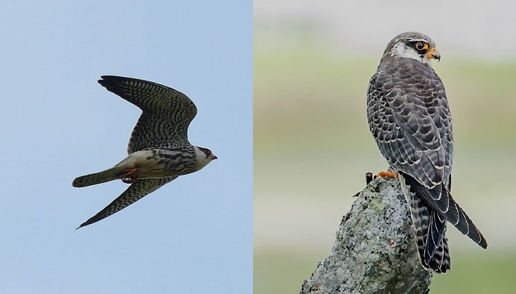 Fascinating facts on Different species of falcons in the birds of prey group that are found all over the world, The Amur Falcon (Falco amurensis)